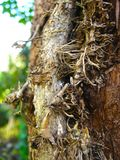 Tree trunk entwined with ivy vines in the garden. Tree trunk entwined with ivy vines close up royalty free stock images
