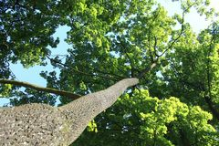 Tree trunk  environment ecology. Tree from the bottom view. Blue sky Royalty Free Stock Photo