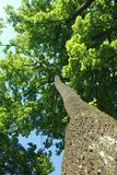Tree trunk  environment ecology natural. Tree from the bottom view. Blue sky Royalty Free Stock Photography