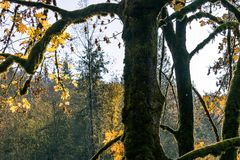 Tree trunk in fall. Mossy tree trunk and branches surrounded by fall leaves and sunlight Stock Photo