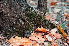 Tree trunk with fallen autumn leaves close up. Autumn background Royalty Free Stock Photo