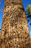 Tree trunk filled with woodpecker holes. Several are filled with nuts Stock Photo