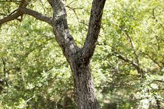 Tree trunk in the forest.  Royalty Free Stock Image