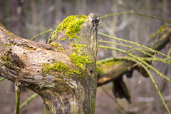 Tree trunk in forest covered with moss Stock Photography