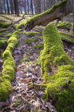 Tree trunk in forest covered with moss Royalty Free Stock Photography