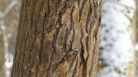 Tree trunk in the forest. Overview of the trunk of a large tree in a winter forest, a sunny day stock video
