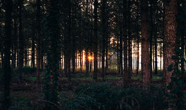 Tree Trunk on Forest during Sunset Stock Photography