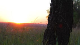 Tree trunk in the forest at sunset. stock video footage