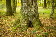 Tree trunk in forest. A view of the oak tree trunk in an autumn forest Stock Image