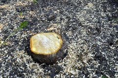 Tree trunk. Freshly cut tree trunk with scobs Stock Photos