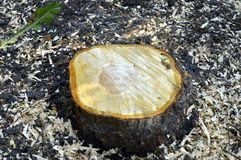 Tree trunk. Freshly cut tree trunk with scobs Royalty Free Stock Images