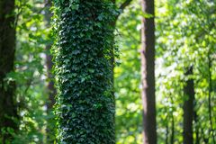 Tree trunk  fully covered in creeping vine royalty free stock photography