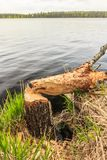 Tree trunk gnawed by beaver Royalty Free Stock Image
