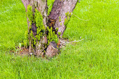 Tree trunk in the grass. In nature Royalty Free Stock Photo