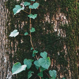 Tree trunk with green leaves Stock Images