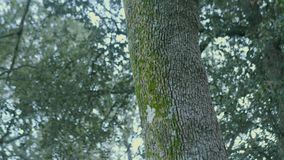 Tree trunk with green moss. With flashes of light in the background stock footage