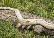 Tree trunk gripped by dead creeper. Tree trunk in the grips of a  dead creeper Royalty Free Stock Photography