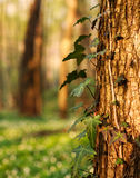Tree trunk with the growing stem in green forest Stock Image