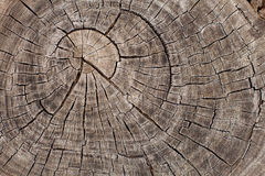 Tree trunk growth rings Royalty Free Stock Photo