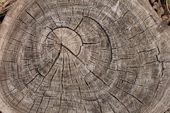 Tree trunk growth rings Royalty Free Stock Image