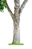 Tree trunk. Isolated on white background Royalty Free Stock Photography