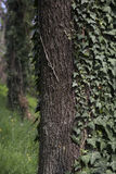 Tree trunk with ivy. Tree trunk covered with ivy stock photo