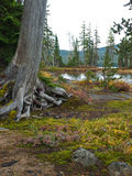Tree trunk at lake shore. Dead tree trunk with exposed roots at the edge of a mountain lake with low plants and tall trees at Waldo Lake, Oregon Stock Photography
