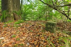 Tree trunk with landmark. Ground level view in an autumnal deciduous forest with mossy landmark in the foreground and brown leaves on the forest floor Stock Photo
