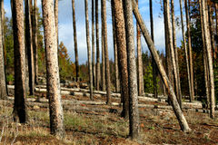 Tree trunk landscape. A landscape of thinned tree trunks in a forest Royalty Free Stock Image