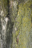 Tree trunk. Large and old tree trunk with green-yellow moss on it. The tree is a Norway maple (acer platanoides) and the picture was taken during late spring Royalty Free Stock Images