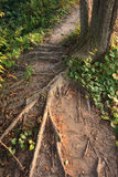 Tree trunk and large roots Royalty Free Stock Images