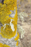 Tree trunk. Latvia in spring. Tree trunk growing next to Baltic beach Stock Photo
