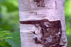 Tree, Trunk, Leaf, Birch stock photography