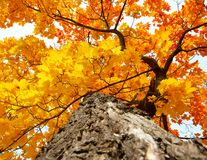 Tree trunk and leaves. Maple tree trunk with uellow and red autumn leaves royalty free stock images