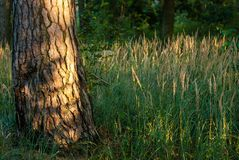 Tree trunk in the light of the setting sun. Tree pine trunk in the light of the setting sun royalty free stock photo