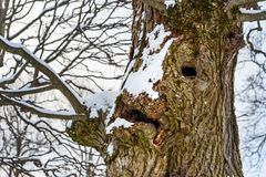 Tree trunk looks like face. In winter at nature stock photo