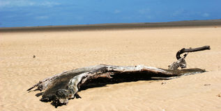 Tree trunk lying on deserted beach desert Stock Photography