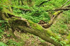 Tree trunk lying in green forest Royalty Free Stock Photos