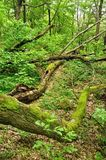 Tree trunk lying in green forest Royalty Free Stock Photography