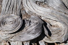 Tree  trunk. This  tree  trunk  made  interesting turns  or  bends  on   ground  level. Thee  tree   is   still  growing Royalty Free Stock Photo