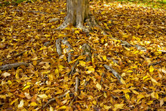 Tree trunk with many autumn leaves on the ground Royalty Free Stock Photos