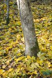 Tree trunk and maple leaves. Tree trunk and orange maple leaves on ground royalty free stock photo