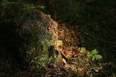 Tree. Trunk with moss Stock Photography