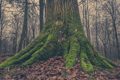 Tree trunk with moss in the forest Royalty Free Stock Photography