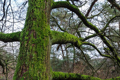 Tree trunk with moss in a forest Stock Images