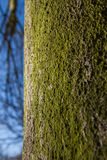 Tree Trunk with Moss or Lichen Royalty Free Stock Photography