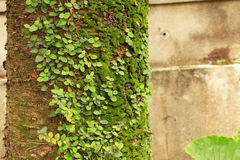 Tree trunk with mosses and vines Royalty Free Stock Photos