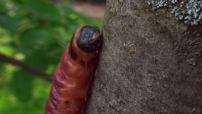 The tree trunk moves multicolored caterpillar. Colorful caterpillar, a large,bright crawling on tree, close up stock footage