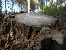 Tree trunk. Old tree trunk cut because it was already dead Stock Photo