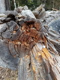 Tree trunk. An old tree trunk in the forest Stock Photo